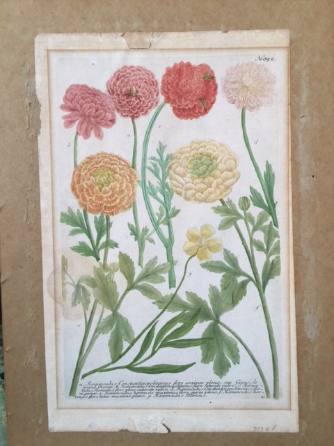 N852 ranunculus french mat removed2